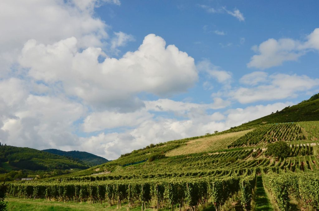 Alzacja, winnica Pinot Grigio