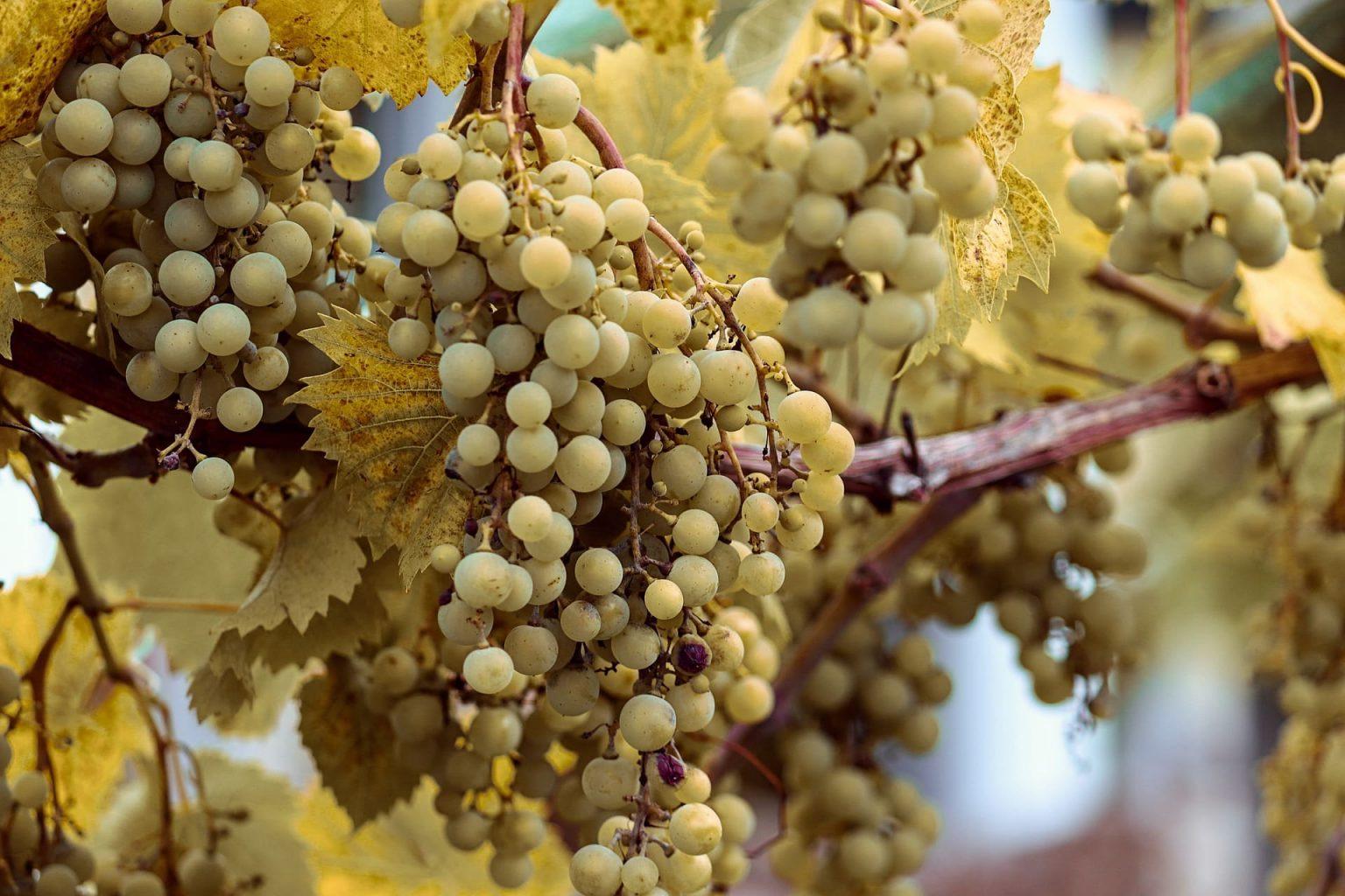 Dojrzałe białe winogrona
