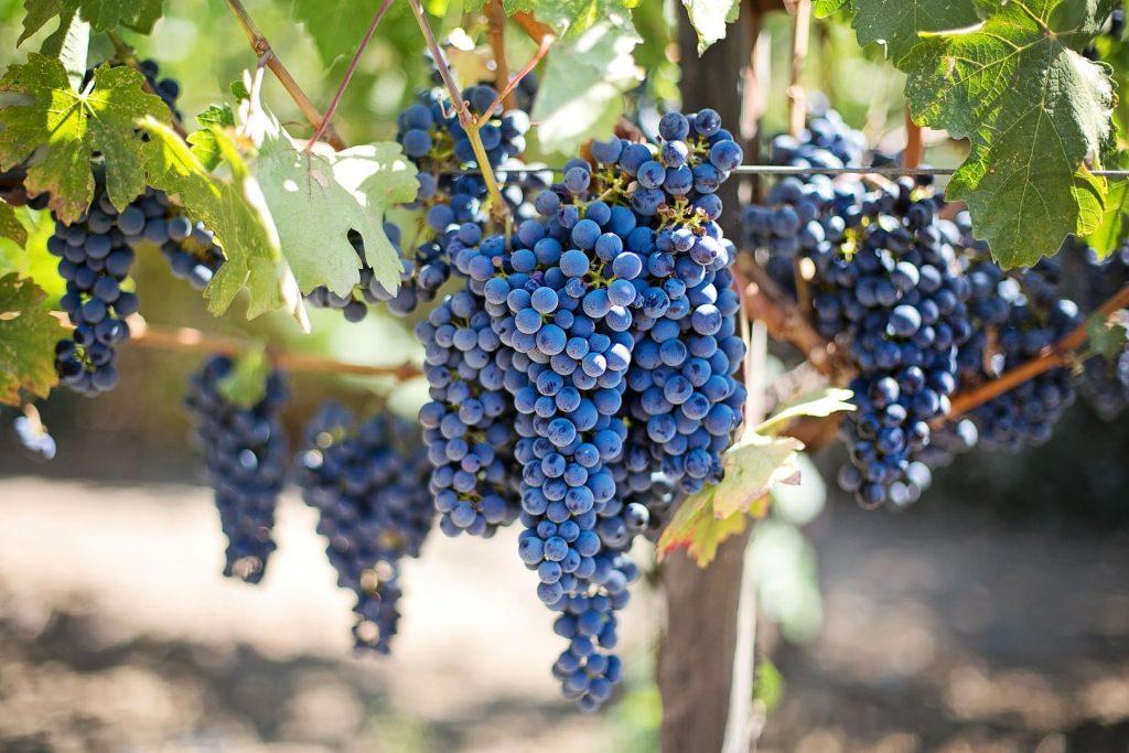 Dojrzałe czerwone winogrona