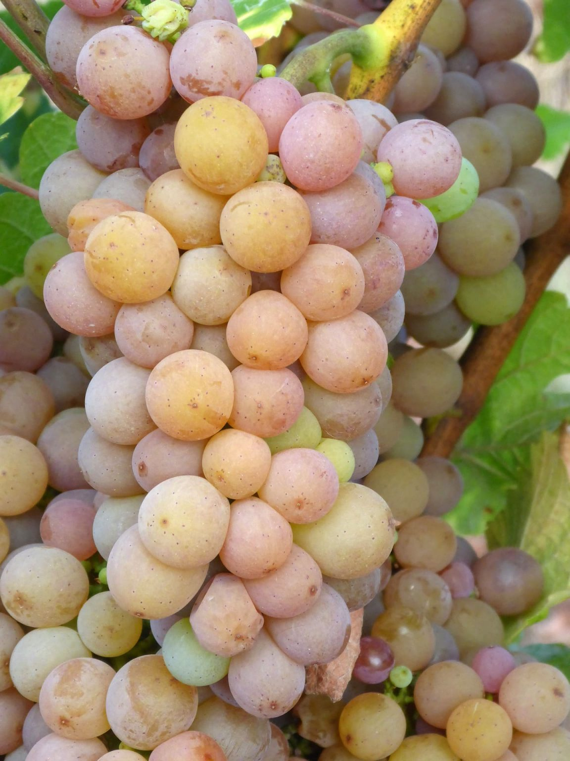 Grono Pinot Grigio