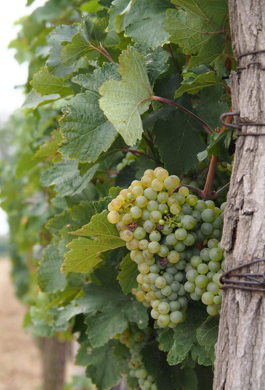 Grono Sauvignon Blanc