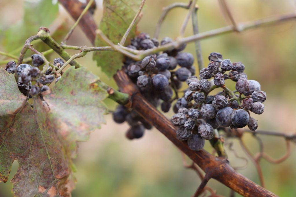 Wino słodkie typu Ice wine - zamrożone grona