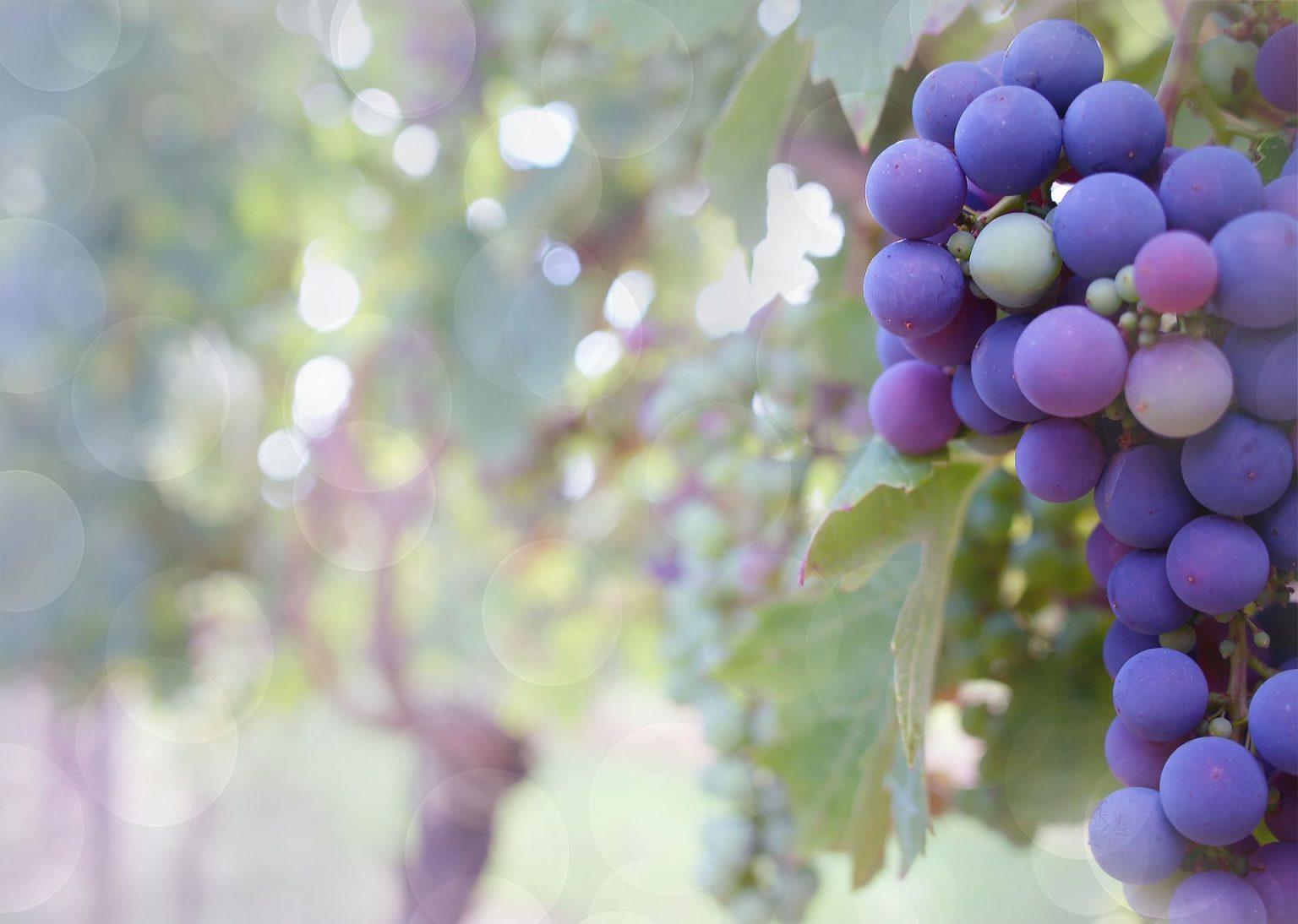 Dojrzewająca kiść winogron