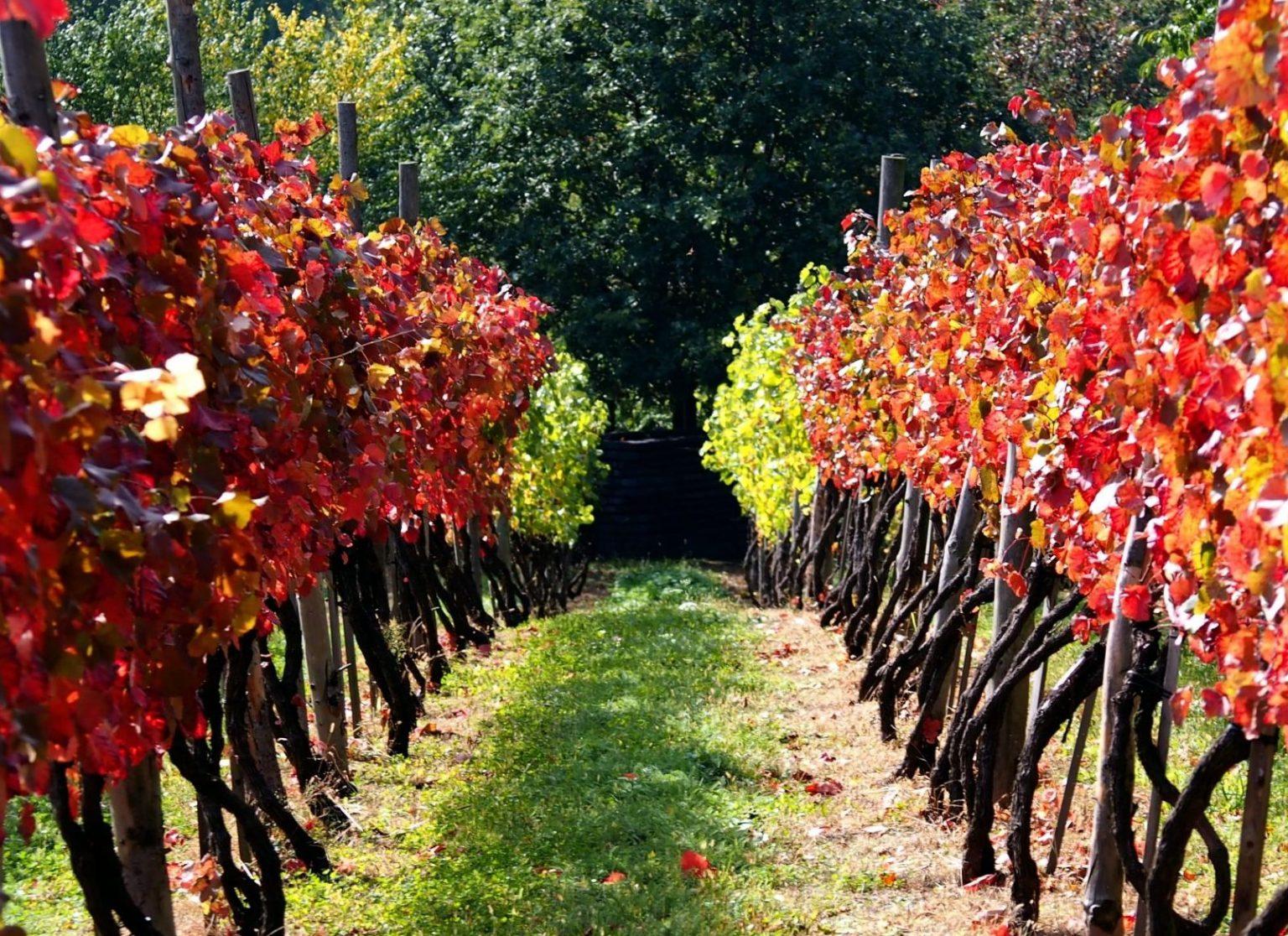 Krzewy winorośli, winnica Świdnicka