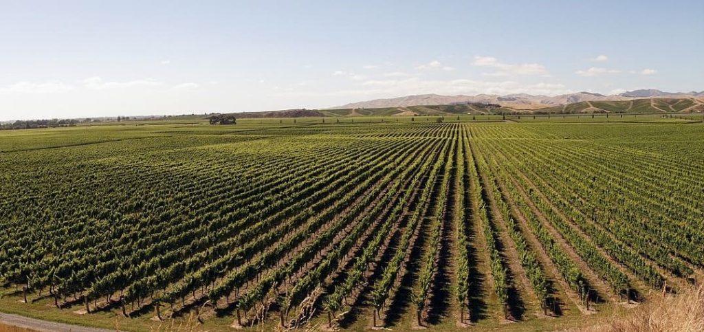 Sauvignon Blanc, panorama winnicy, Nowa Zelandia