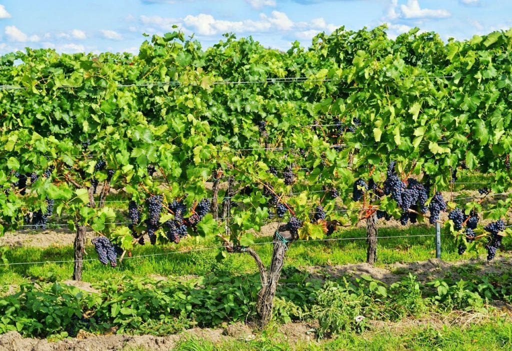 Pinot Noir w winnicy, Niemcy