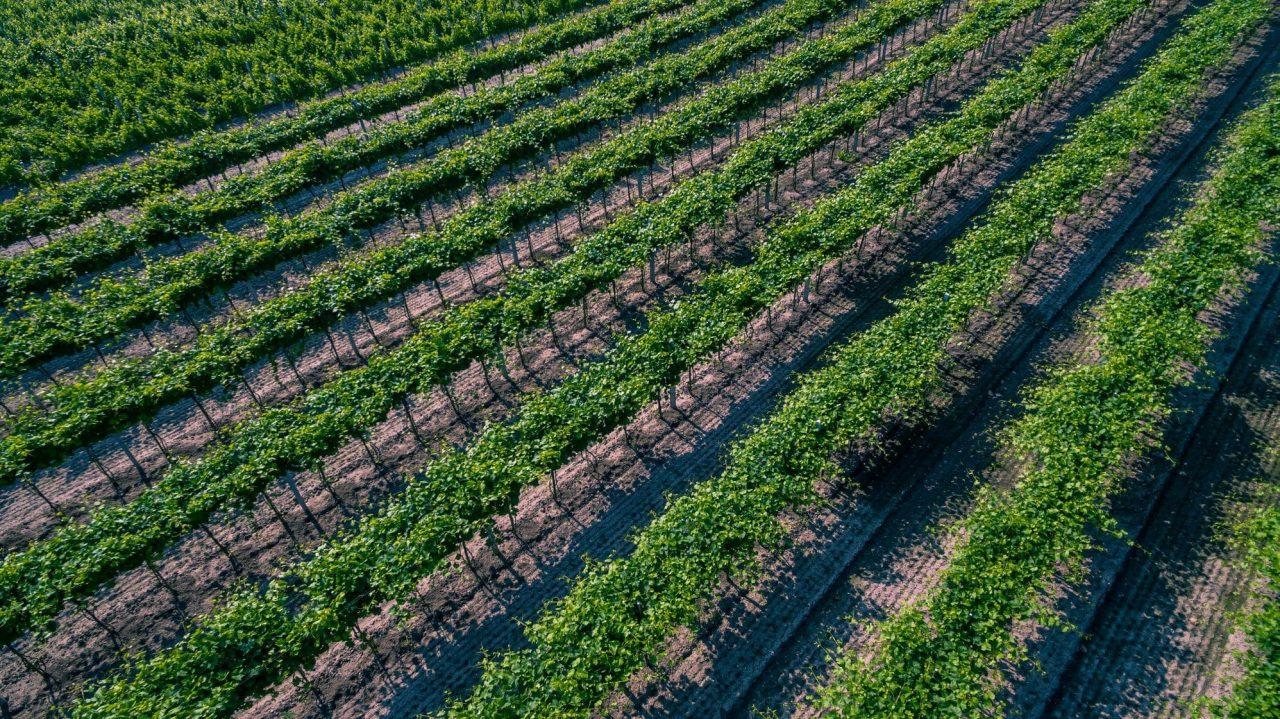 Słoneczny Zakątek - widok na winnice