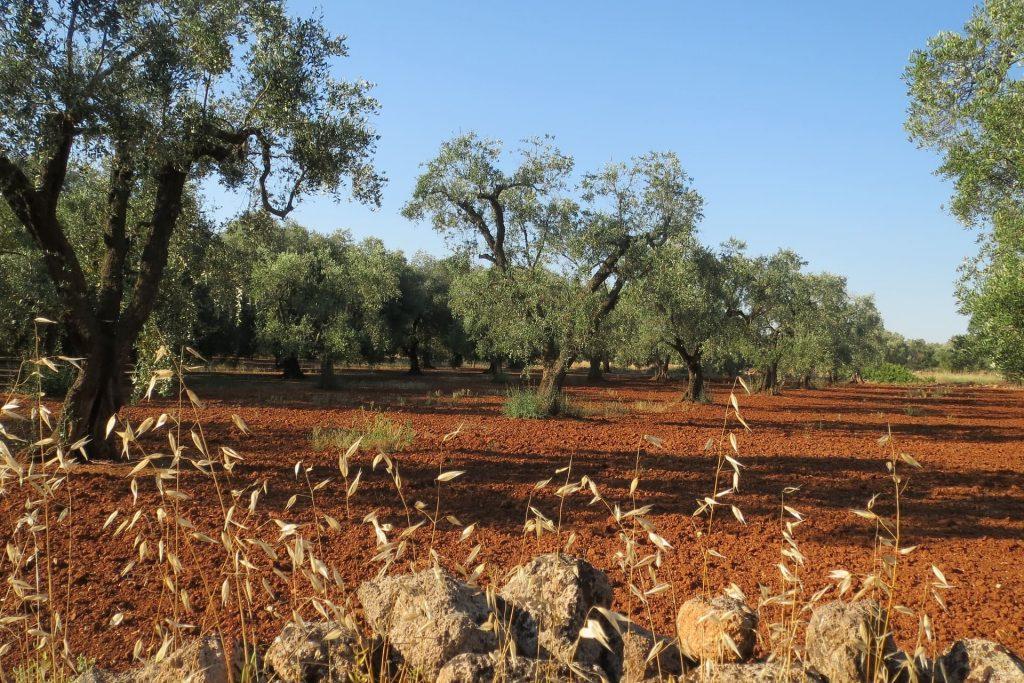 Dom Primitvo, Salento, gaj oliwny