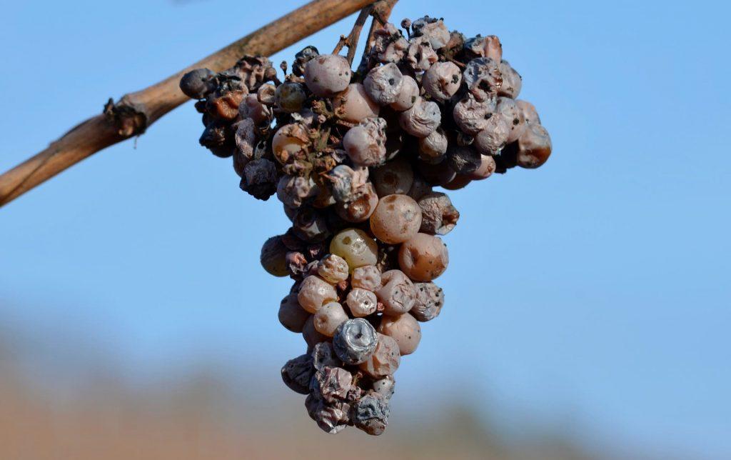 Wino słodkie, szlachetna pleśń