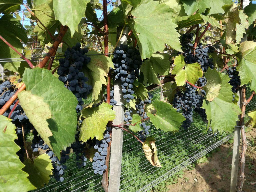 Uprawa winorośli w Polsce