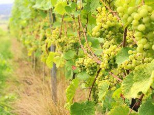Winnica Jura - białe grona