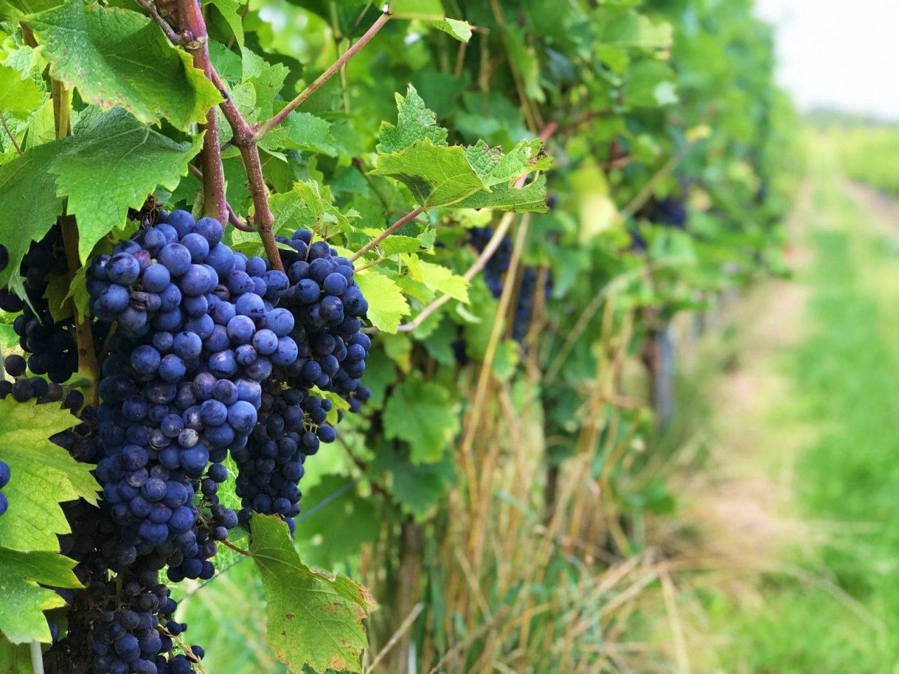 Ciekawostki o winie - czerwone grona