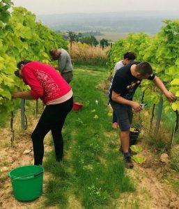 Winnica Jura winobranie