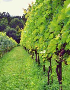 Winnica Zawadka - krzewy