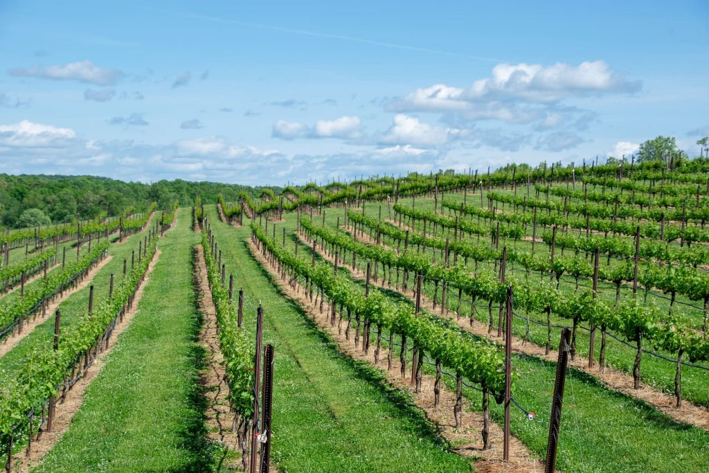 Winnice w Bordeaux, Cabernet Sauvignon, Francja