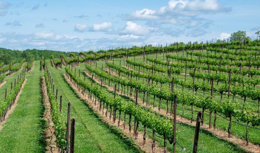 Winnice w Bordeaux, Francja Sauvignon Blanc