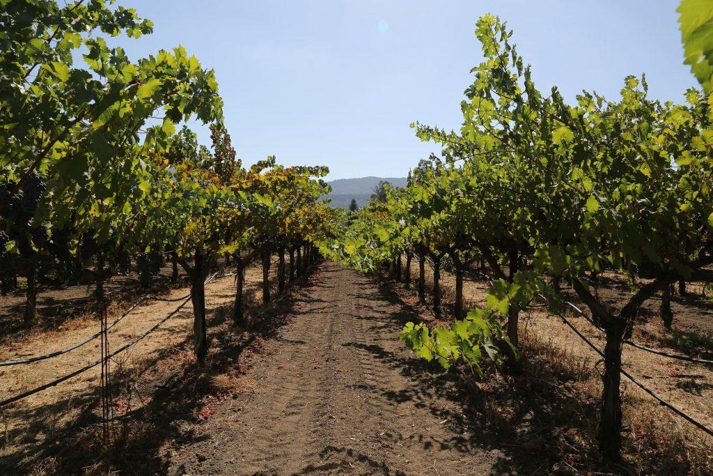 Zinfandel Winnice w Napa Valley, USA