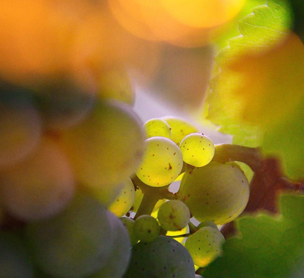 Winna genetyka - Winogrono dojrzewające w słońcu