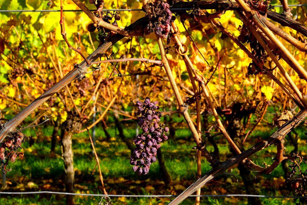 Wino słodkie, passito - wysuszone grona na krzewie