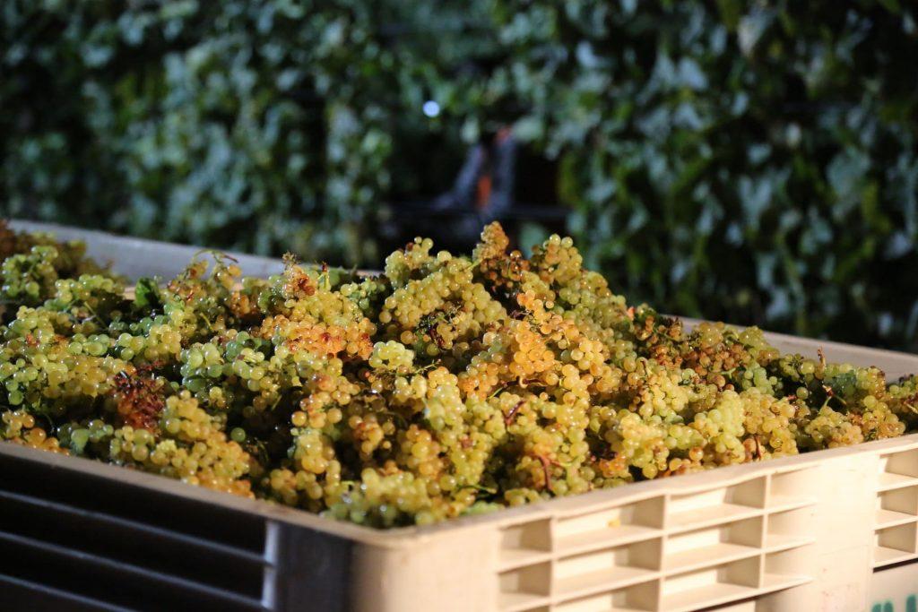 Zbiór CHardonnay, Napa Valley, białe wino