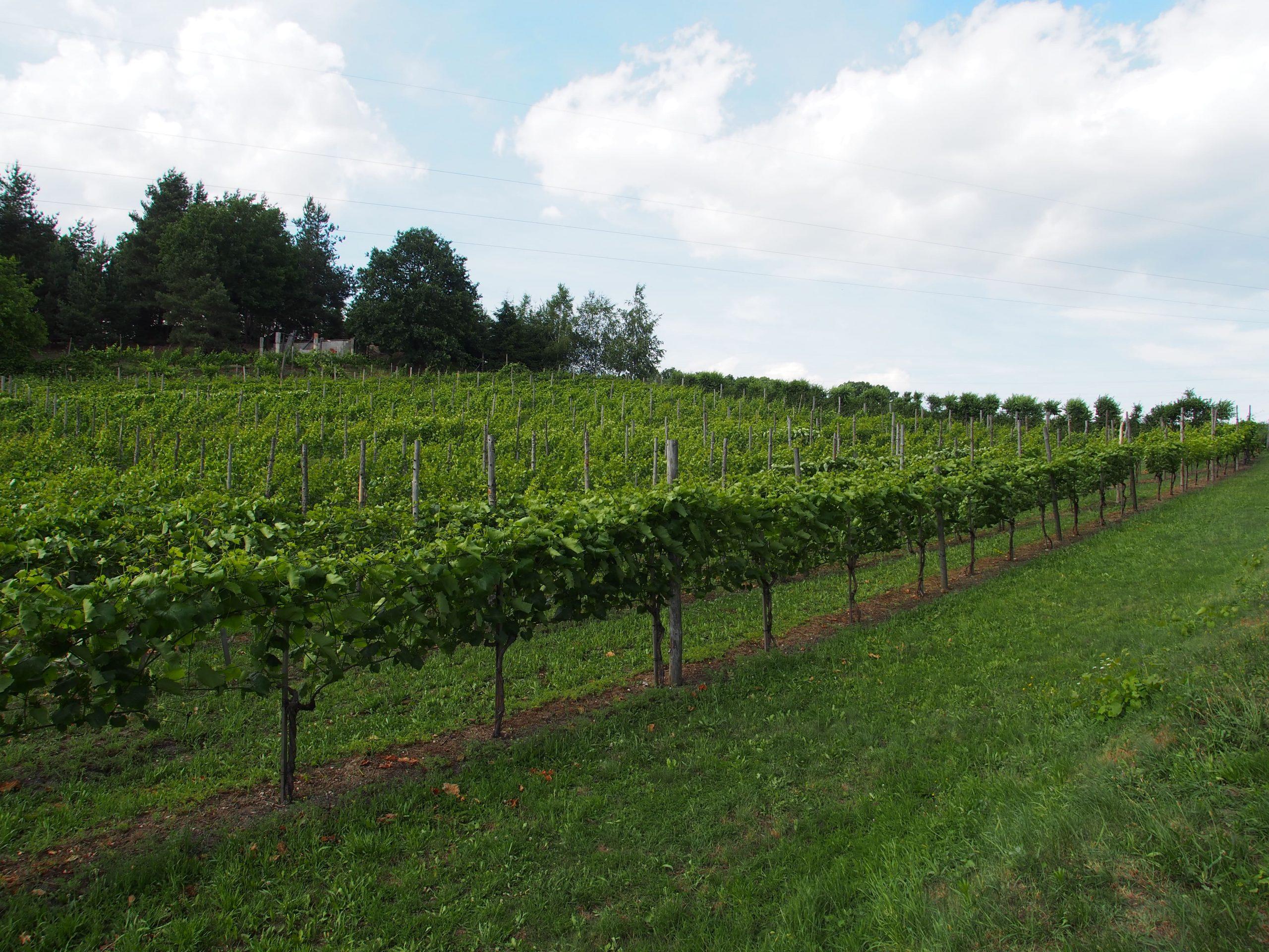 Krzewy winorośli, winiartswo w polsce